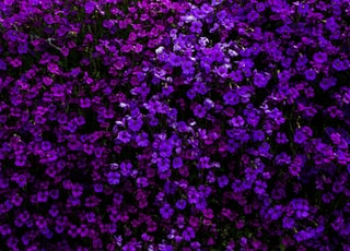 purple flowered hedge plants