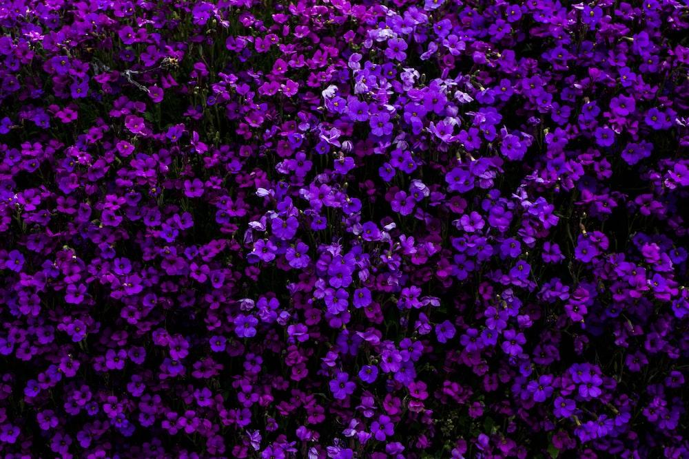 purple flowered hedge plants