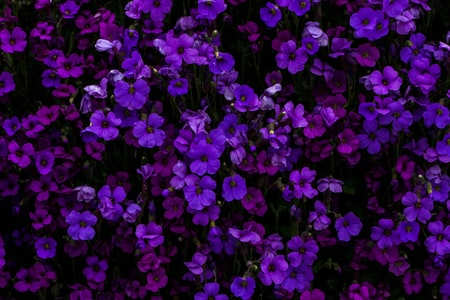 Gardeners Guide to Heliotrope Plant Care