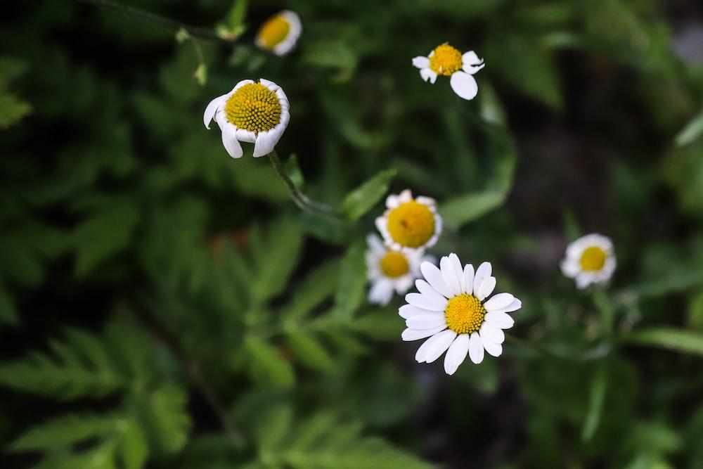 white aster flower