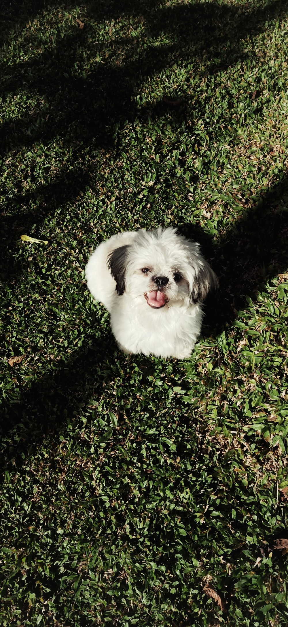 white shih tzu in green field