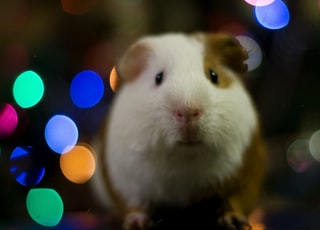selective focus photo of guinea pig