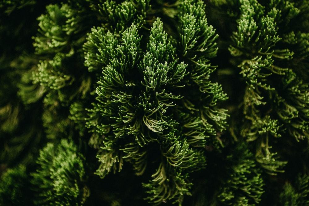 green pine tree