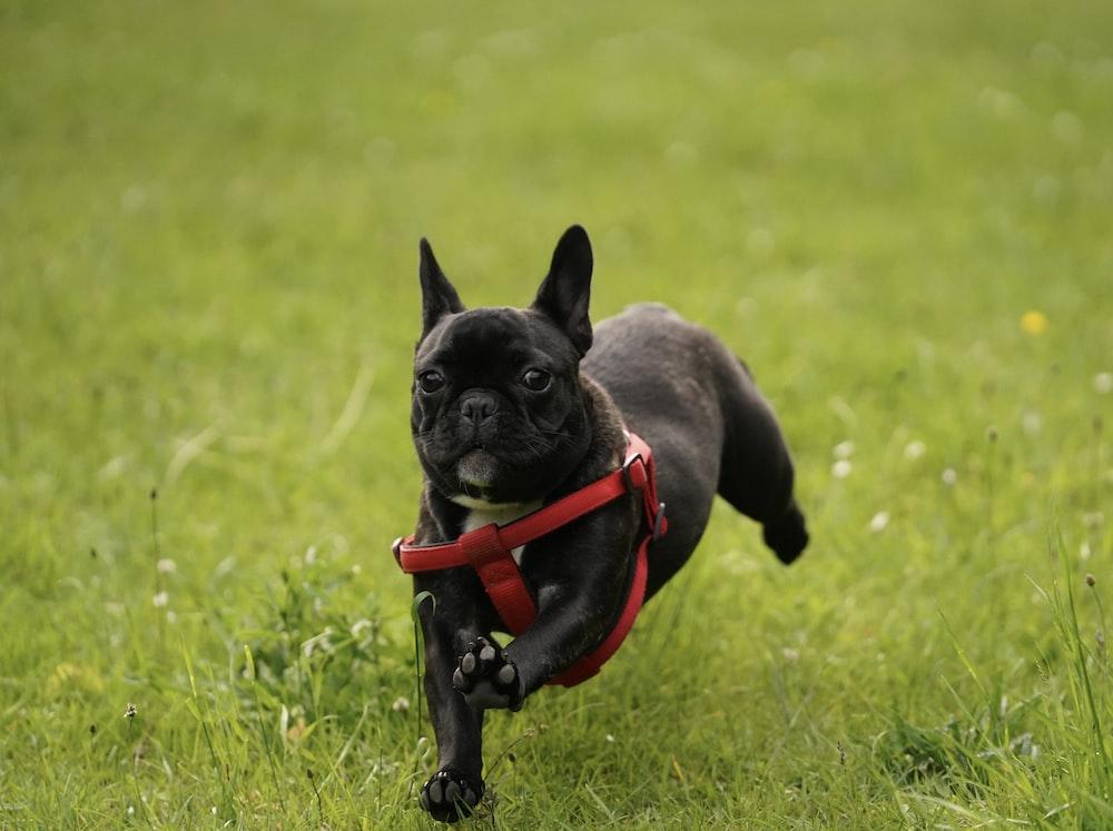 black pug running on field