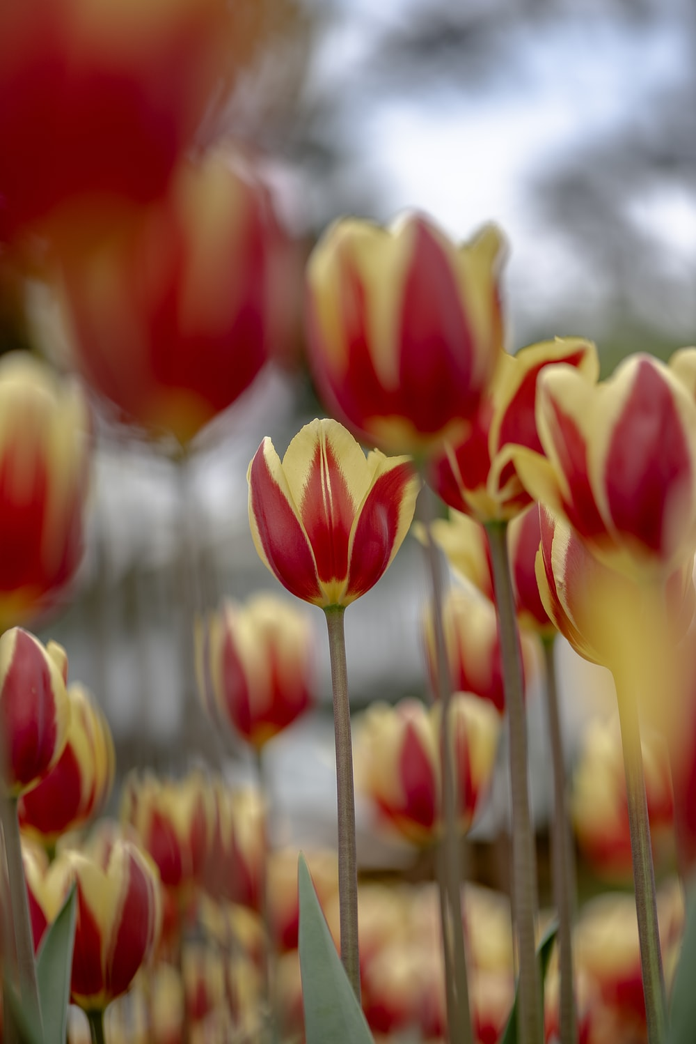 red-and-yellow petaled flowers