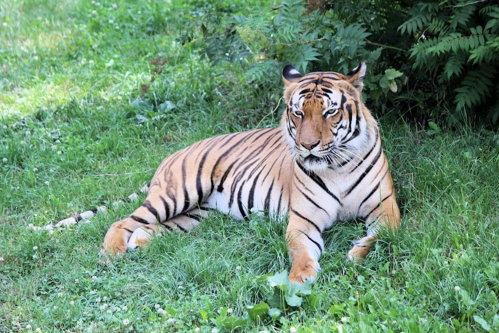 tiger near fern
