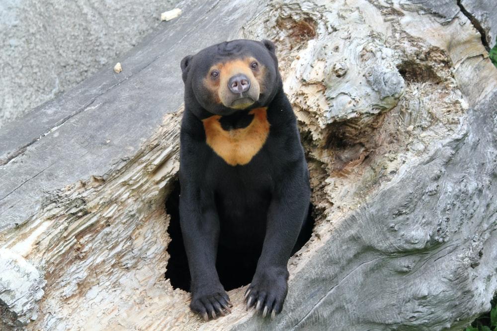 black bear in wooden hole