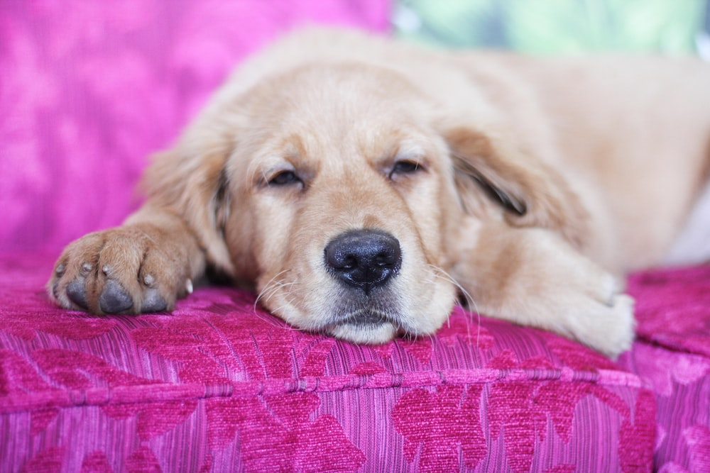 yellow Labrador retriever lying on sofa