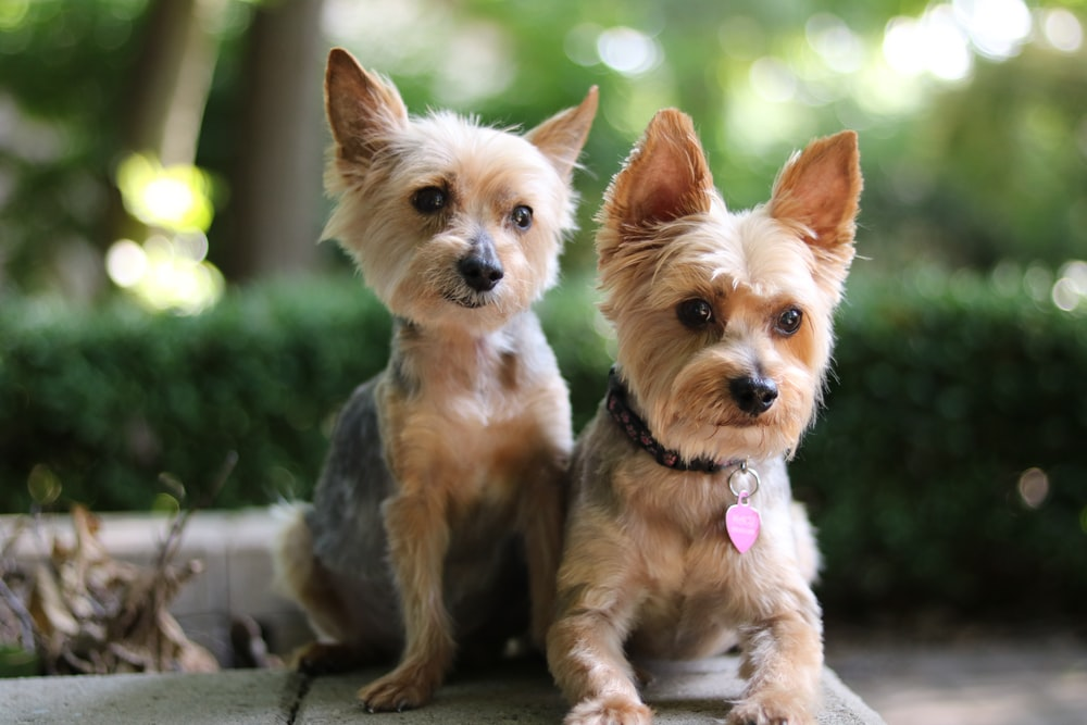 two brown dogs