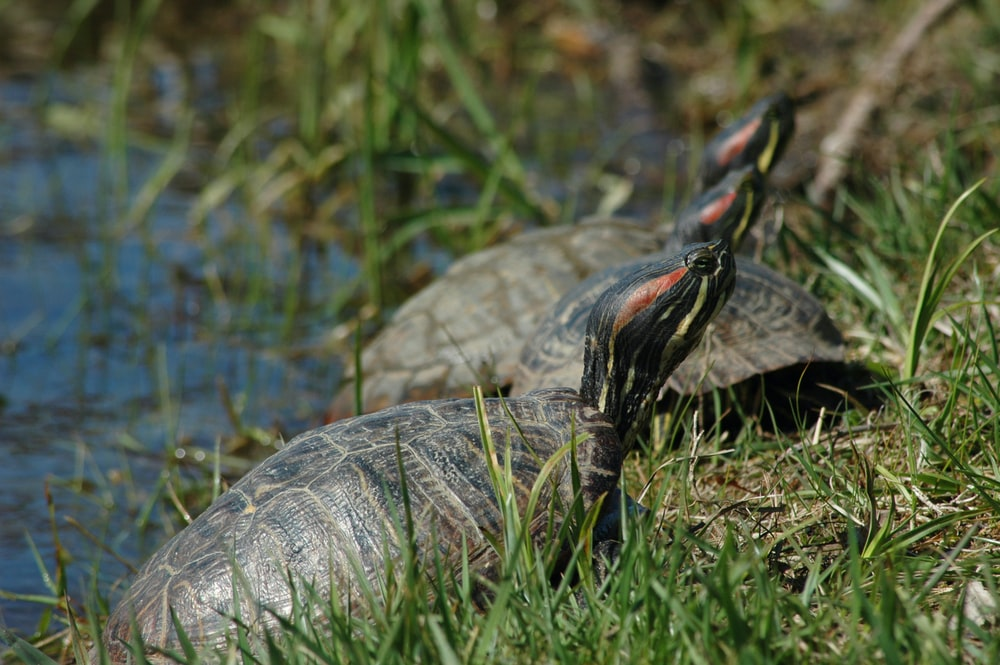 three turtle near body of water close-up photography