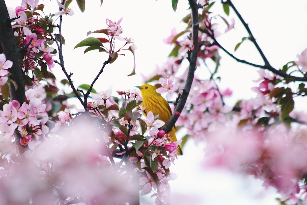 yellow bird on flowering tree