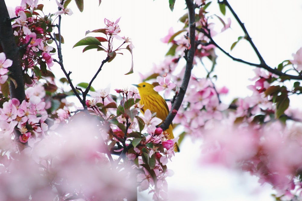 yellow bird on flowering tree