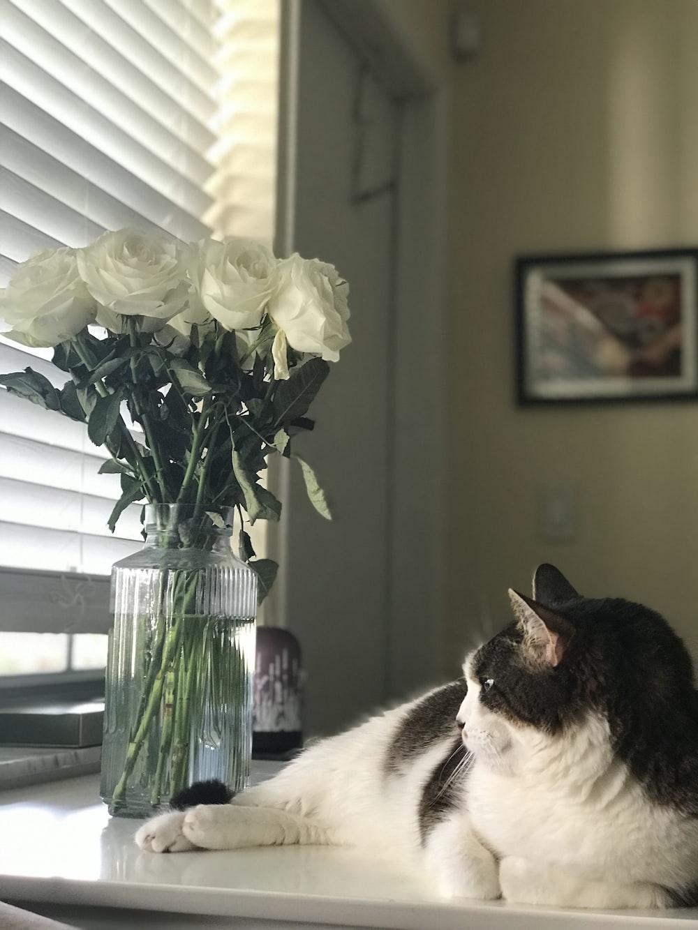 black and white cat lying beside white rose flowers