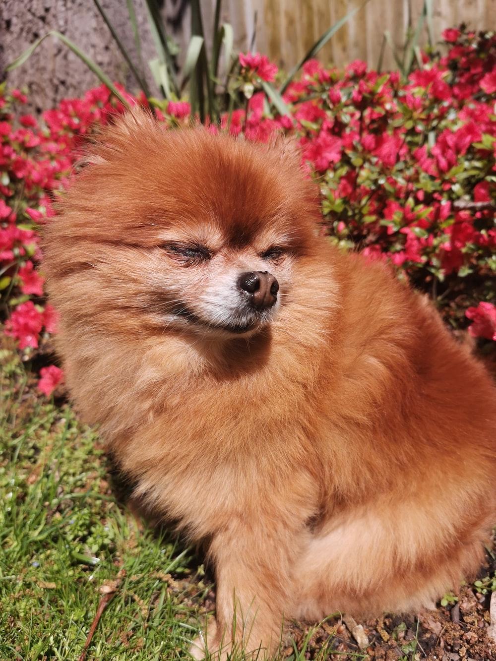 red Pomeranian dog near red flowers