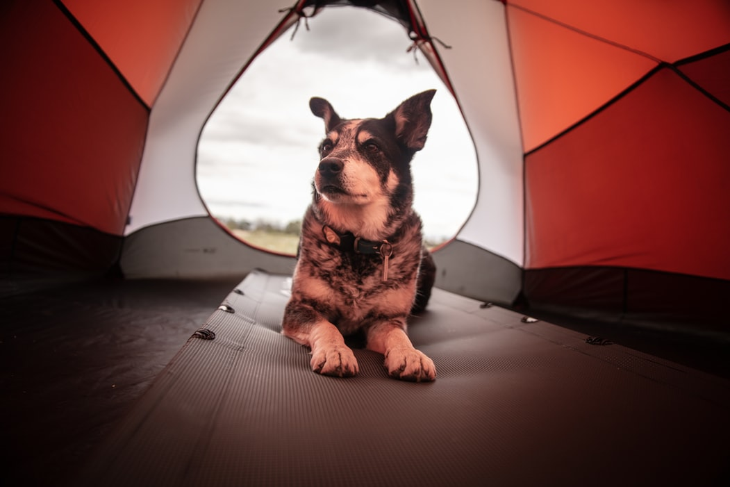 dog in tent on sleeping pad