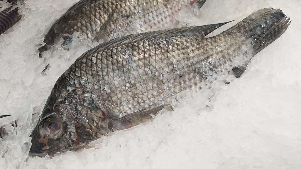 two raw gray fish on ice