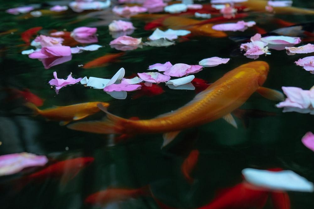 koi in body of water