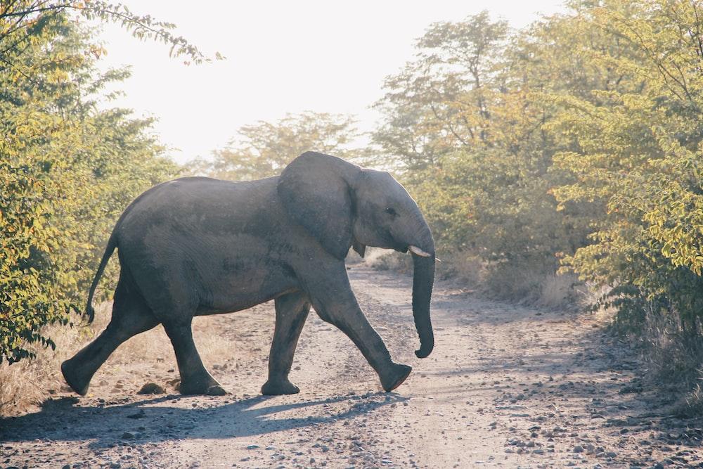 grey elephant animal crossing dirt road