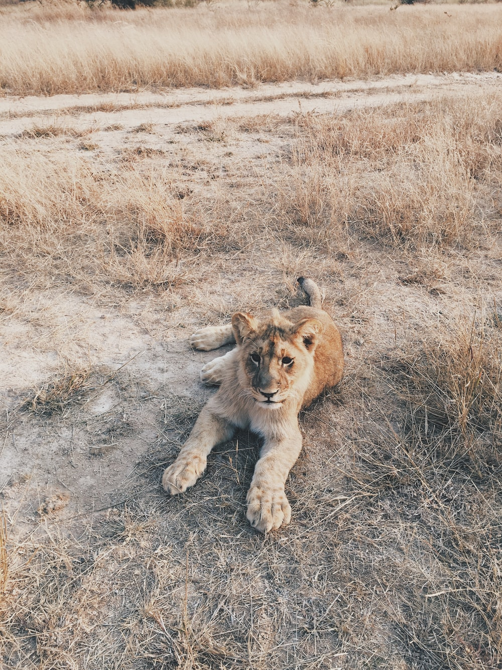 lion cub lies on floor