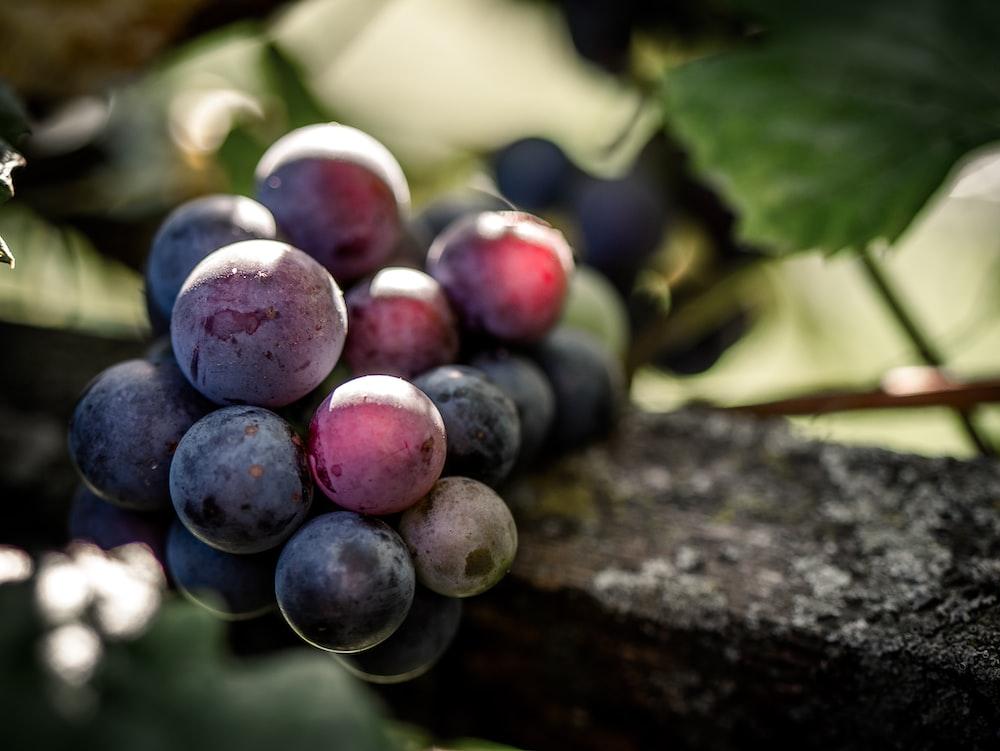 bunch purple grapes