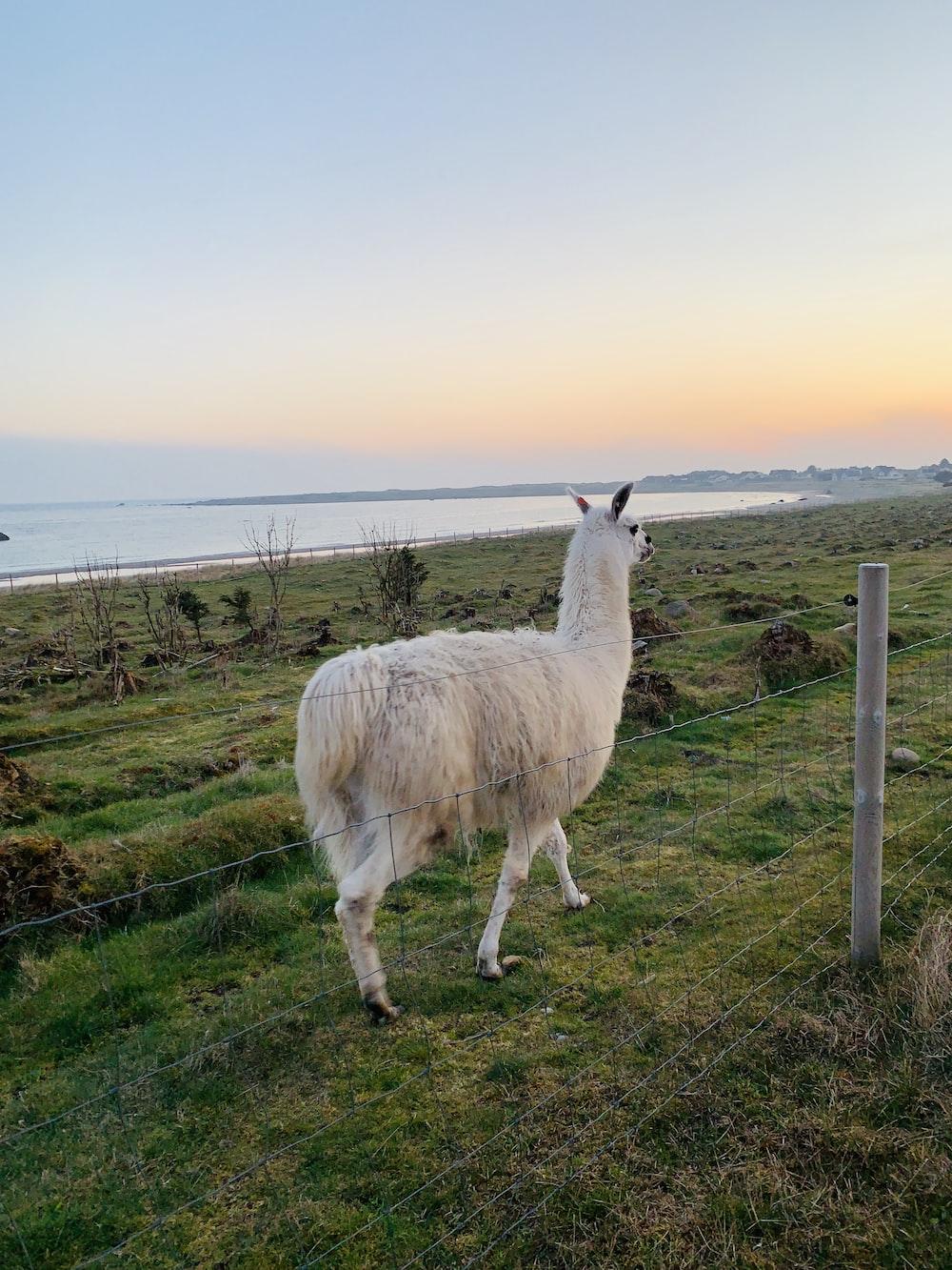 white sheep walking on green grass