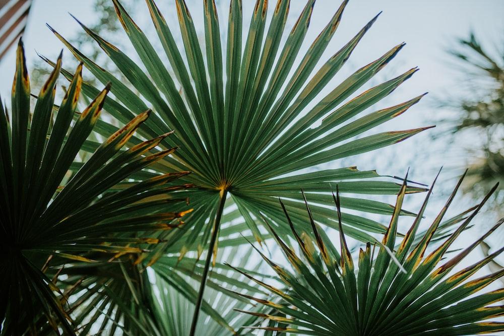 green fan palm leaves