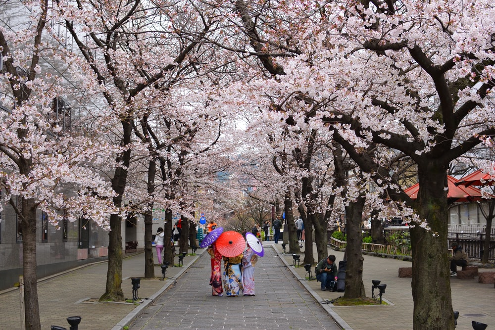 people walking between Cherry Blossoms while holding assorted-color umbrellas