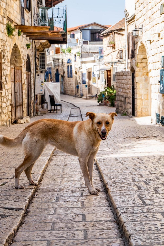 tan dog on road