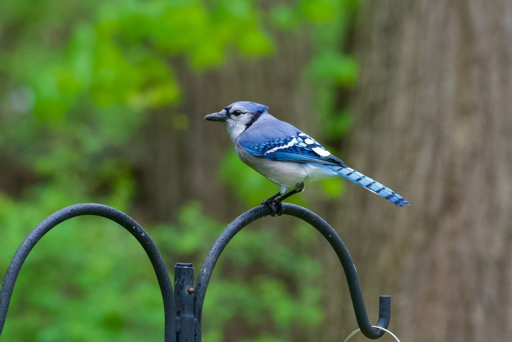 shallow focus photo of blue jay