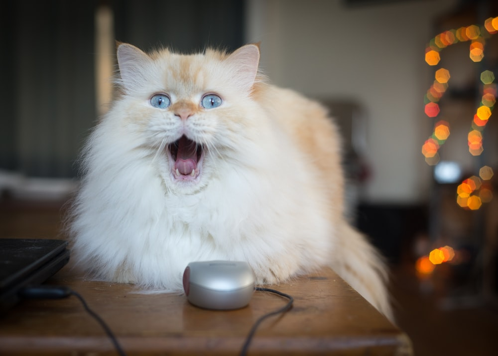white cat near laptop and mouse