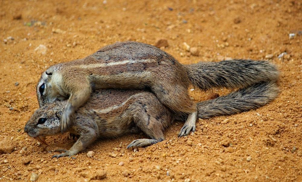two brown squierrels
