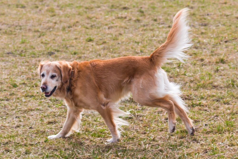 golden retriever walking on grass