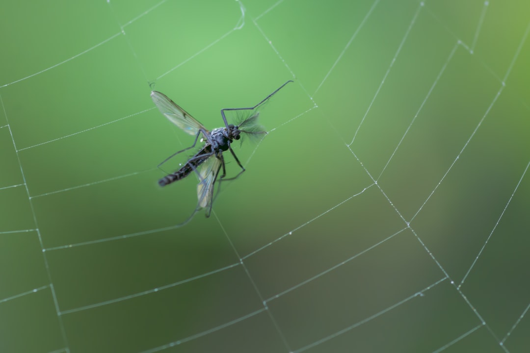 A mosquito caught in a spiders web