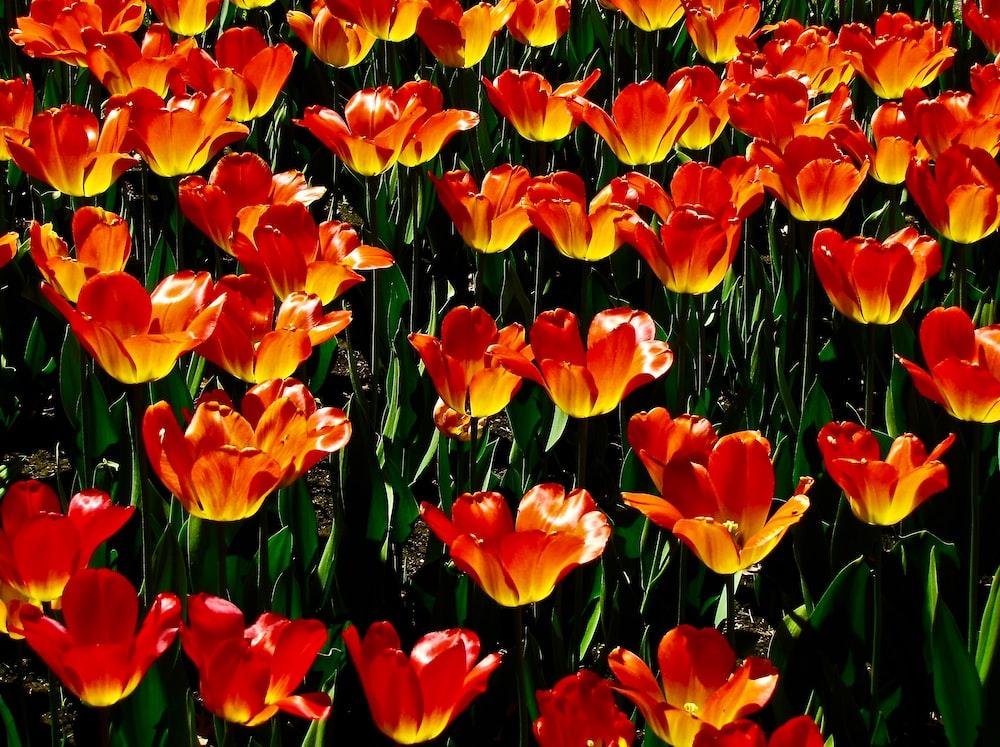 orange and yellow petaled flower field
