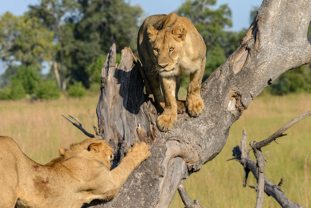 two lion on tree at daytime