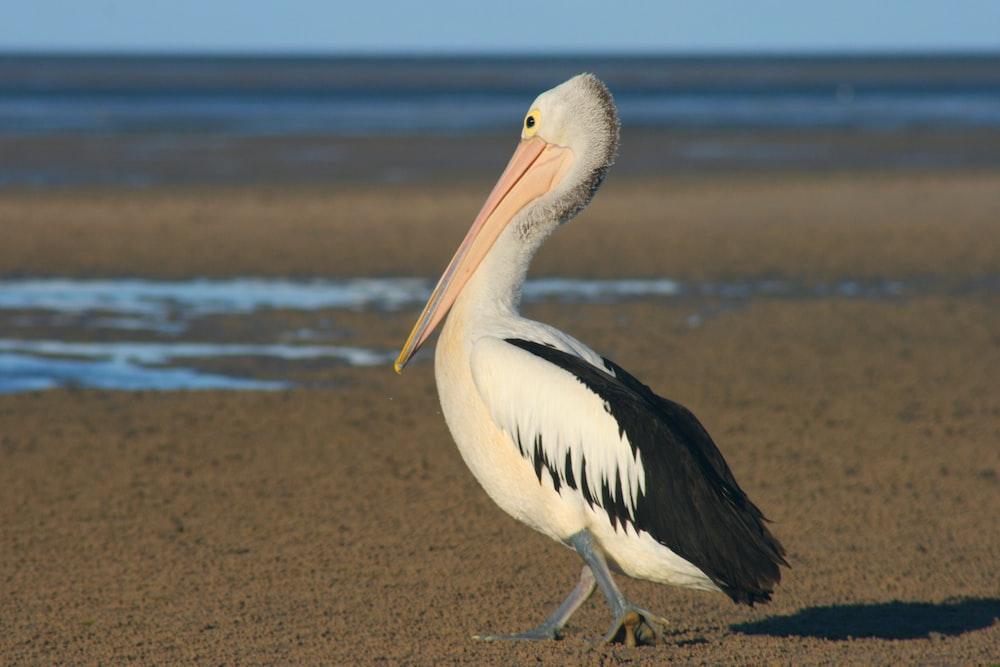 black and white pelican beside shoreline