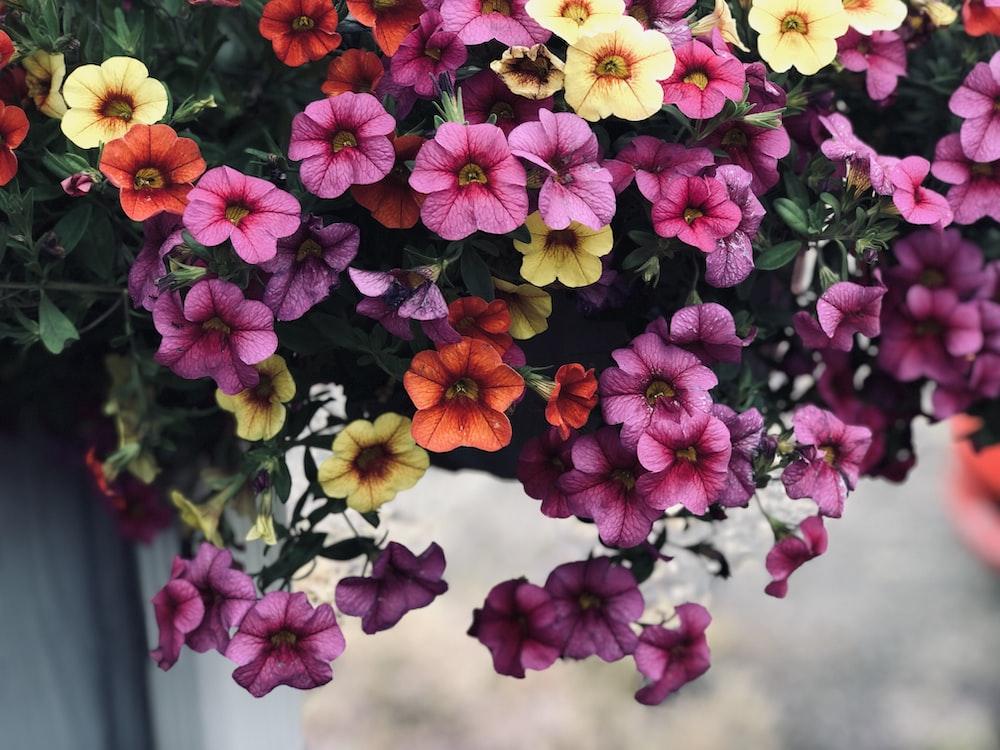 "Картинки по запросу ""Petunia flowers. Photo is free"""