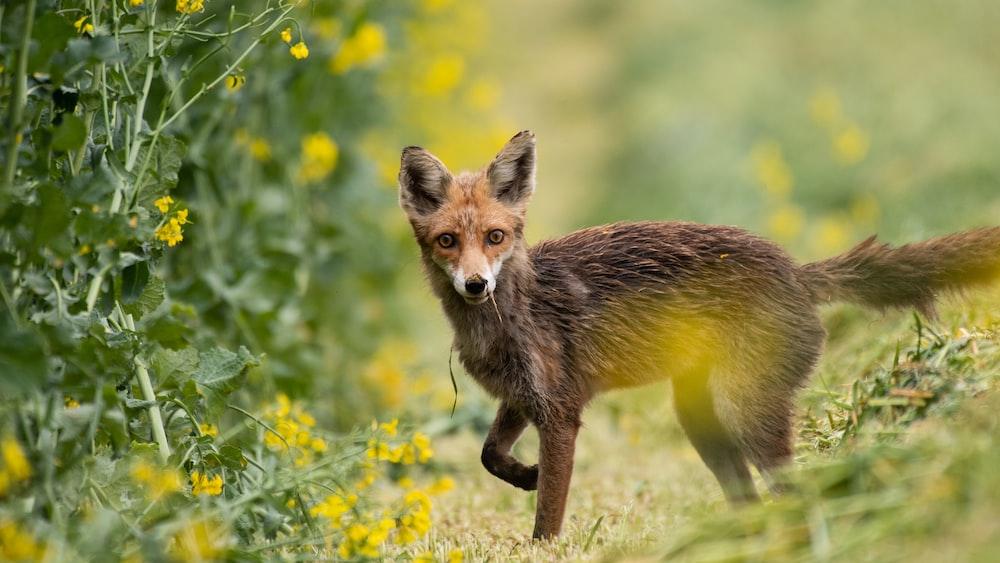 brown fox near yellow flowered plants