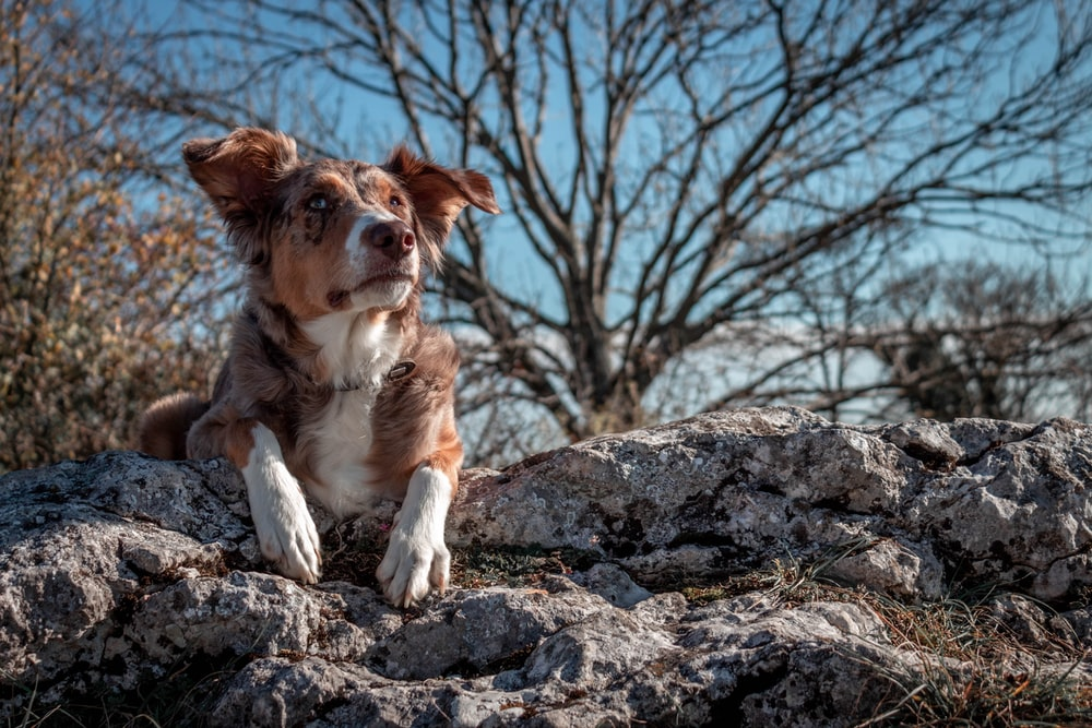 Australian Shepherd Dog Pictures | Download Free Images on Unsplash