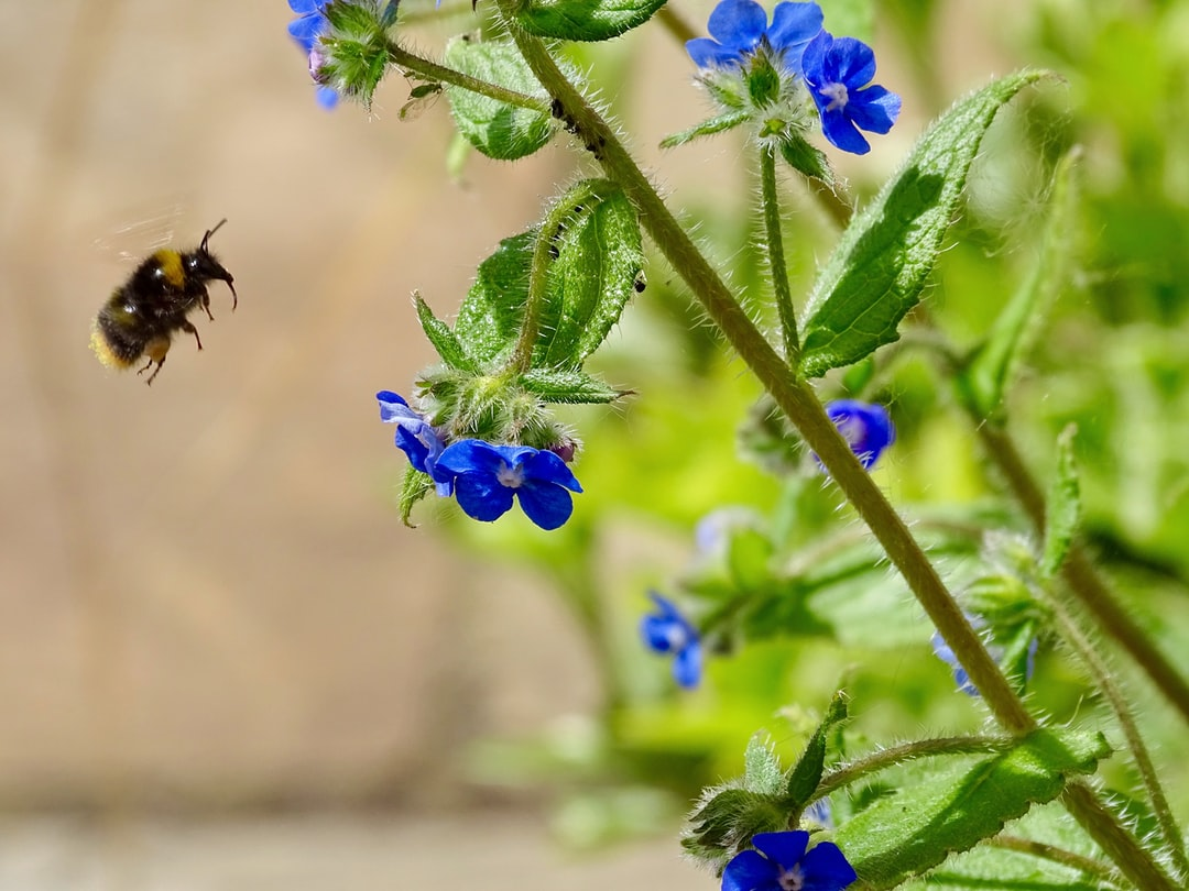 Bumble bees.  Delighted to see this little chap flying towards the Forget me nots ready to collect pollen. I love these furry little flying insects and am sad they are in decline. Good to see him and a couple of others today, out and about in the spring sunshine.