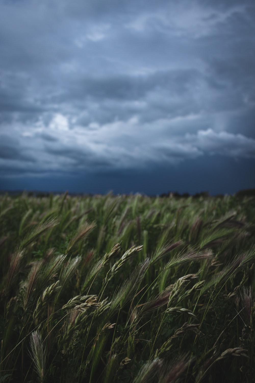 green wheat field in macro photography