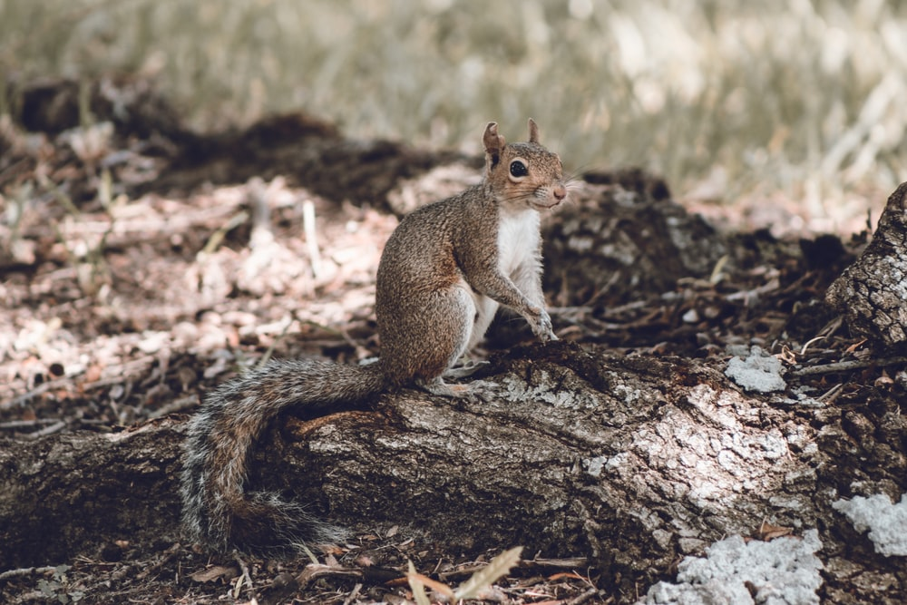 photography of brown rodent on brown wood during daytime