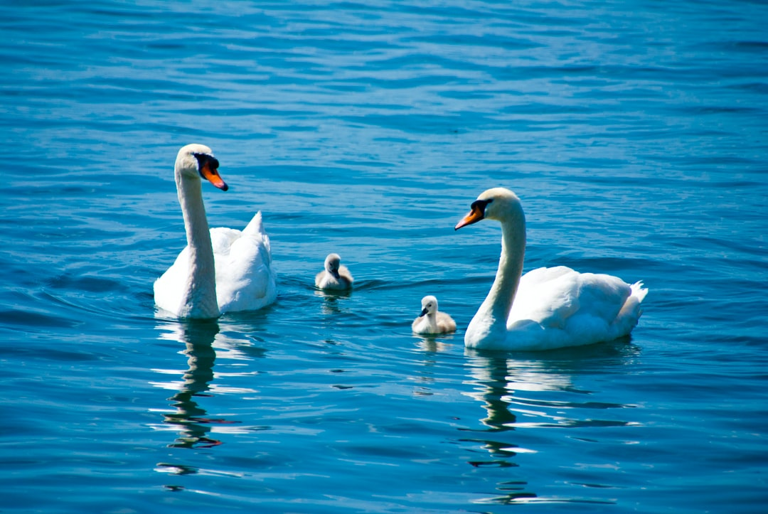 Swans and babies