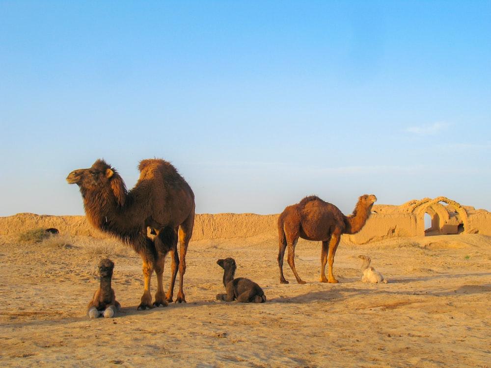five brown camels