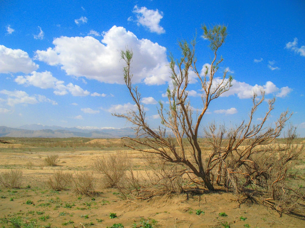 leafless tree in desert
