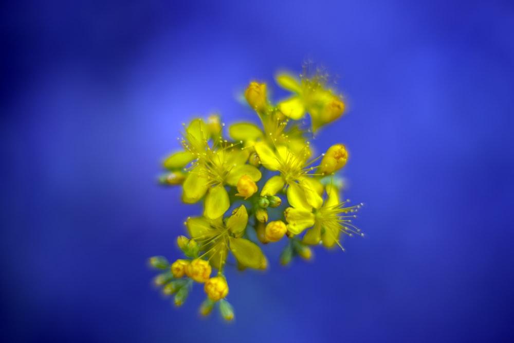 perforate st john's wort flower on blue background