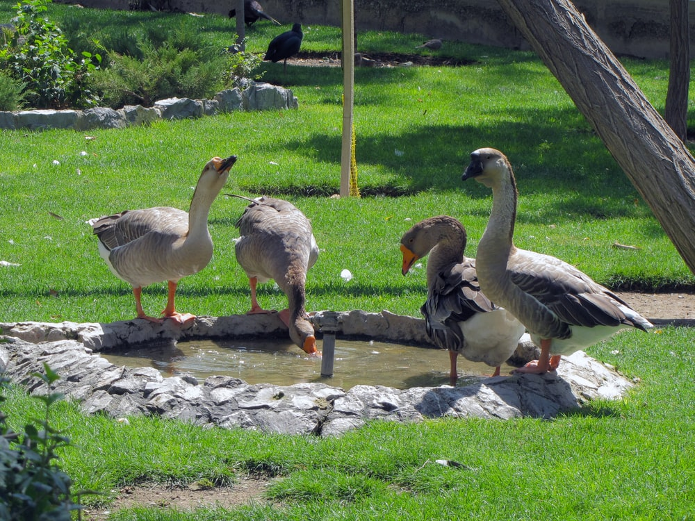 four geese drinking in fountain during daytime