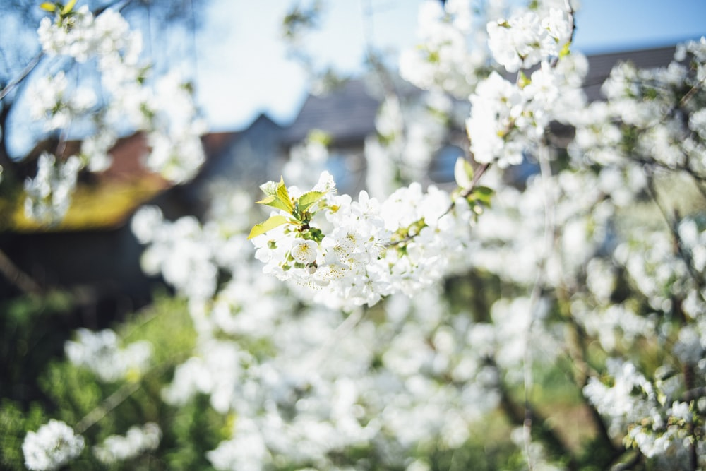 lots of white flowers blooming