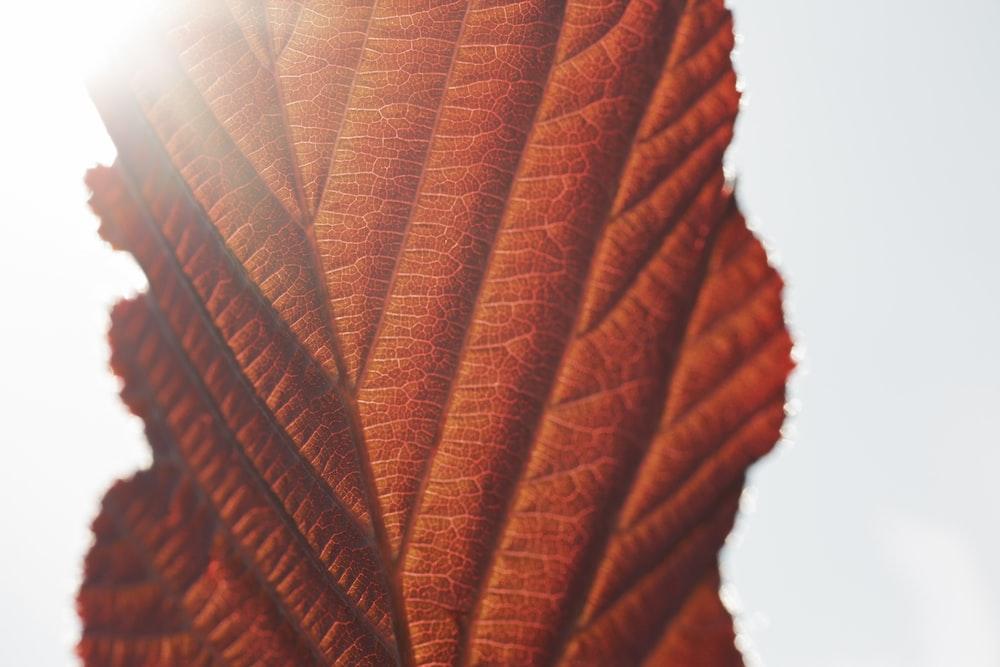 brown leaf