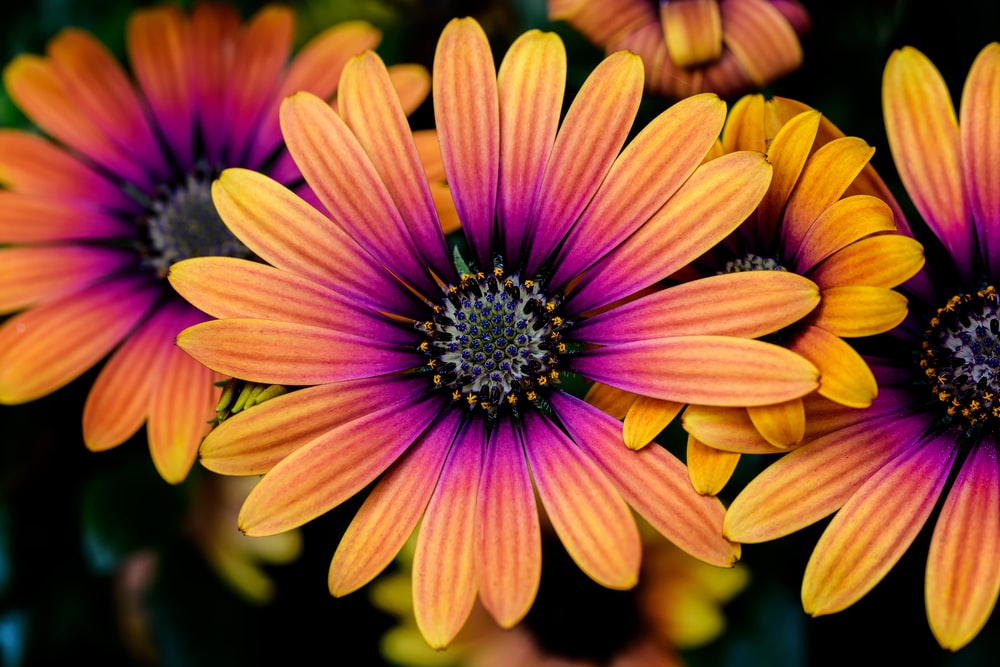 yellow-and-pink daisies